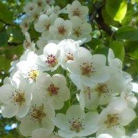 яблони в цвету :: Элла Перелыгина