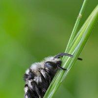 Пчелка :: Александр Земляной