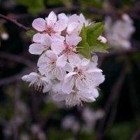 Цвет вишни :: Сергей Касимов