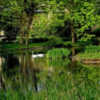 Белые лебеди в парке :: Alexander