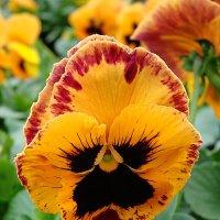 "Viola x wittrockiana "" Delta Orange with Blotch  "" :: laana laadas"