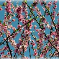 Опять персик, потому что красивый! :: Валентина Данилова