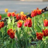 Городские тюльпаны. :: Леонид