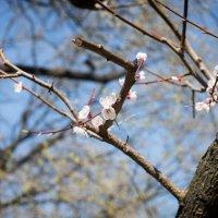 Цветение сакуры :: Астарта Драгнил