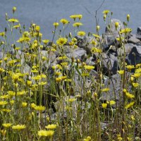 Цветы и камни :: Сергей Махонин