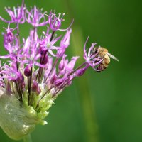 пчелка :: Светлана Попова