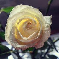 Роза :: Lidiya Gaskarova