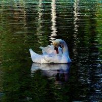 лебедь в березовых тонах :: Александр Корчемный