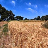 созрела пшеница :: evgeni vaizer