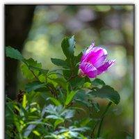 цветочек Аленький :: Sergey Bagach
