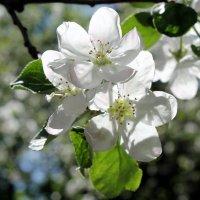 Яблони в цвету – какое чудо! :: Валентина ツ ღ✿ღ