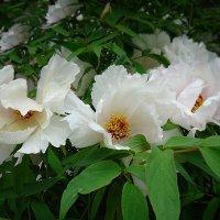 Пленяет и радует глаз цветение нежное мая... :: Galina Dzubina