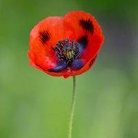Красные маки радость несут... :: Nina Streapan