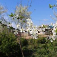 Благоухание весны :: Валентина Кузнецова