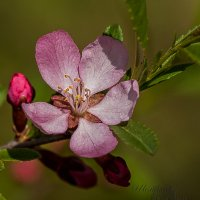 Цветок барбариса :: Алексей Шеметьев