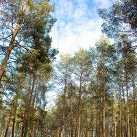 Сосновый лес возле ст. Кумылженской :: Наталья Фирсова