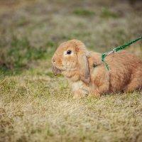 кролик на прогулке :: Алла Мещерякова