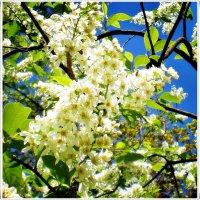 Черемуха в цвету :: Ирина Князева