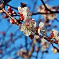 Один раз в год сады цветут... :: Александр Резуненко