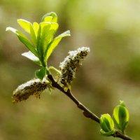 весенние листья :: Сергей Швечков