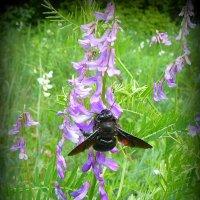 Пчела-плотник :: Андрей Заломленков