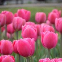 Тюльпаны :: Ксения Масленникова