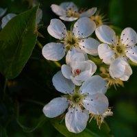 Груша в цвету :: Ирина Остроухова