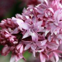 Цветет лиловая сирень, и нежит ласковая лень и нежный запах. :: Валентина ツ ღ✿ღ