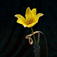 """из серии """"Тюльпаны"""" :: Tatyana Belova"""