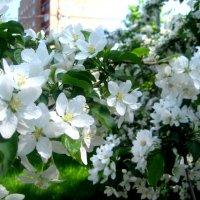 Лучше нету того цвета, когда яблоня цветет... :: Елена Семигина