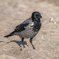 Песчанная ворона... :: Владимир Питерский