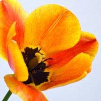 Tulip :: Лёля Дмитриева