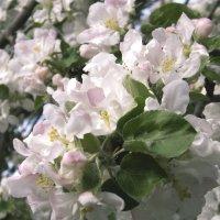 Яблоня цветет... :: Мария Климова