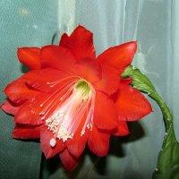 Цветок кактуса :: Татьяна Осипова(Deni2048)