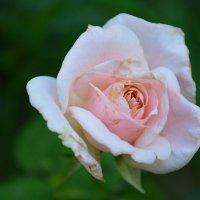 Болезнь розы :: Зизи Тимошенко