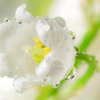 Цветок ланыша :: Павел