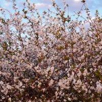 Вишня цветёт :: Валентина Пирогова