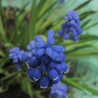 Мускари синие . :: Мила Бовкун