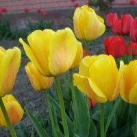 Желтые тюльпаны :: Татьяна Пальчикова