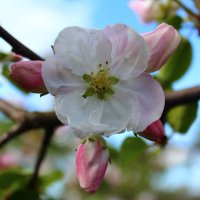 Розовая Краса :: Uliya T