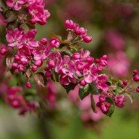 начало цветения яблонь в Коломенском :: Ярослава Бакуняева