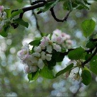 Весеннее цветение :: Наталья Rosenwasser