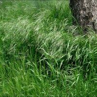 Заколосились травы :: Нина Корешкова