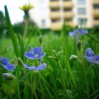 """""""Зацветают весной (ах, не надо! не надо!), Зацветают весной голубые цветы..."""" :: Galina Dzubina"""