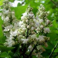 Цветущий май... :: Тамара (st.tamara)