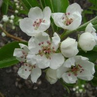 Груша цветёт :: Анатолий
