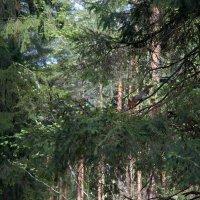 лес :: Владимир Пензин
