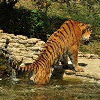 Настоящий тигр или как выжить в жару) :: Лена Арефьева
