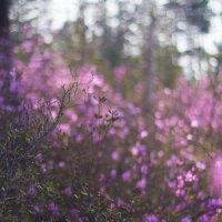 Багульниковый цвет :: Всеволод Хамуев