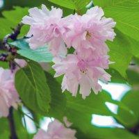 Цветение Сакуры :: Варвара